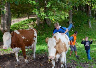 Kühe scheuchen